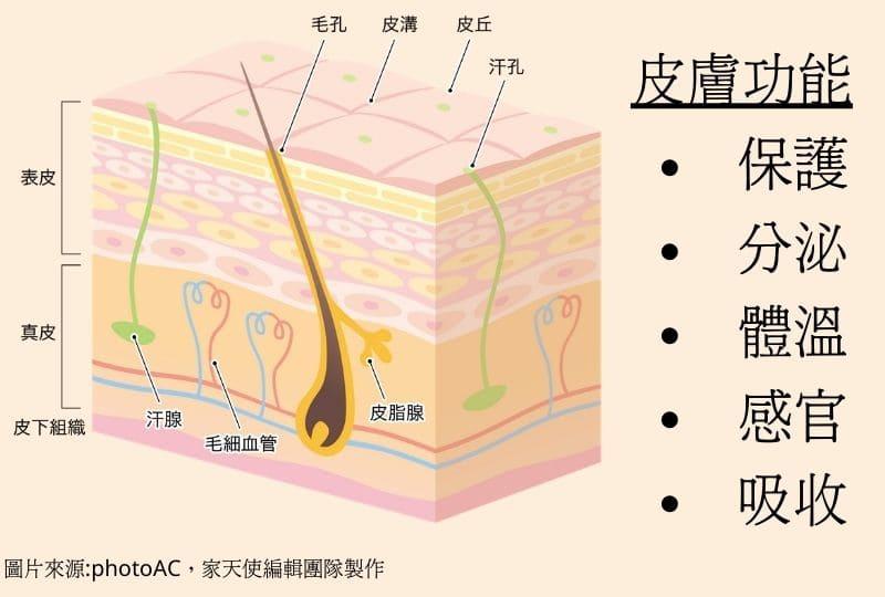 皮膚功能與分層