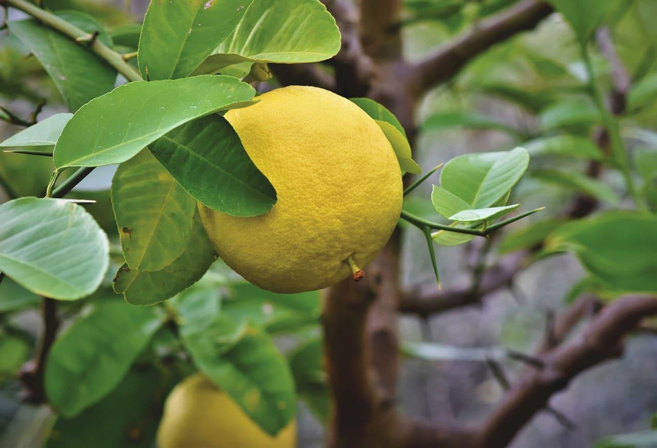中秋吃柚子注意事項